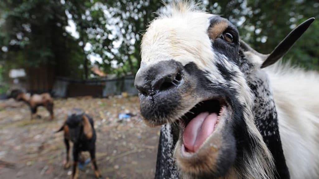 goat in heat