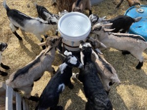 Goat Milk Superfood
