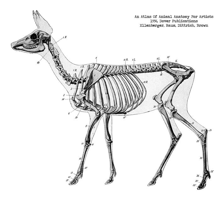 deer skeleton anatomy diagram wiring light switch pack lunch raw |