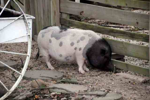 Nalls Produce Penny the Pig