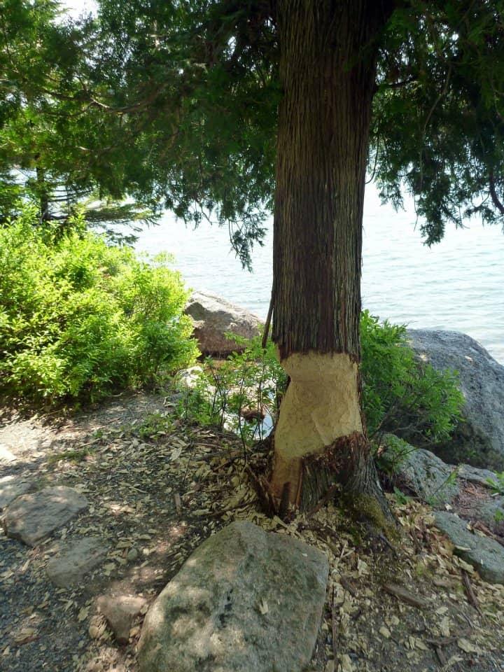 Beaver marks on a tree along the Jordan Pond Trail, Acadia National Park Maine