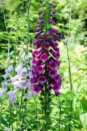 thuya garden in Northeast Harbor Maine