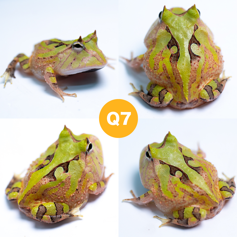 八月精選10支綠霸王角蛙 – Pacman Taiwan