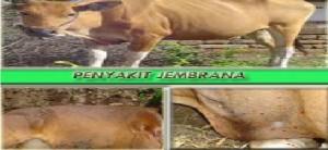 penyakit sapi jembrana