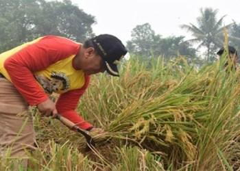 Walikota Sawahlunto, Ali Yusuf saat memanen padi gadang rumpun. (tumpak)