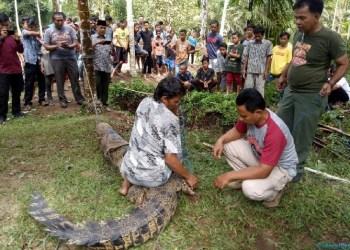 Penemuan buaya di Tanjung Mutiara, Agam. (fajar)