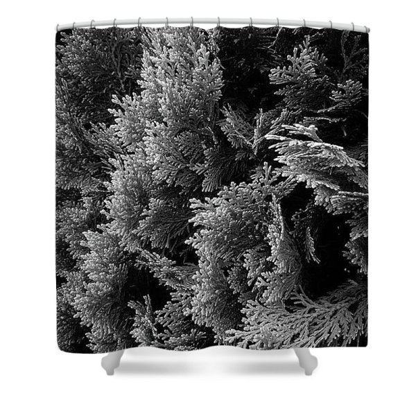 cypress branches black and white photograph shower curtain