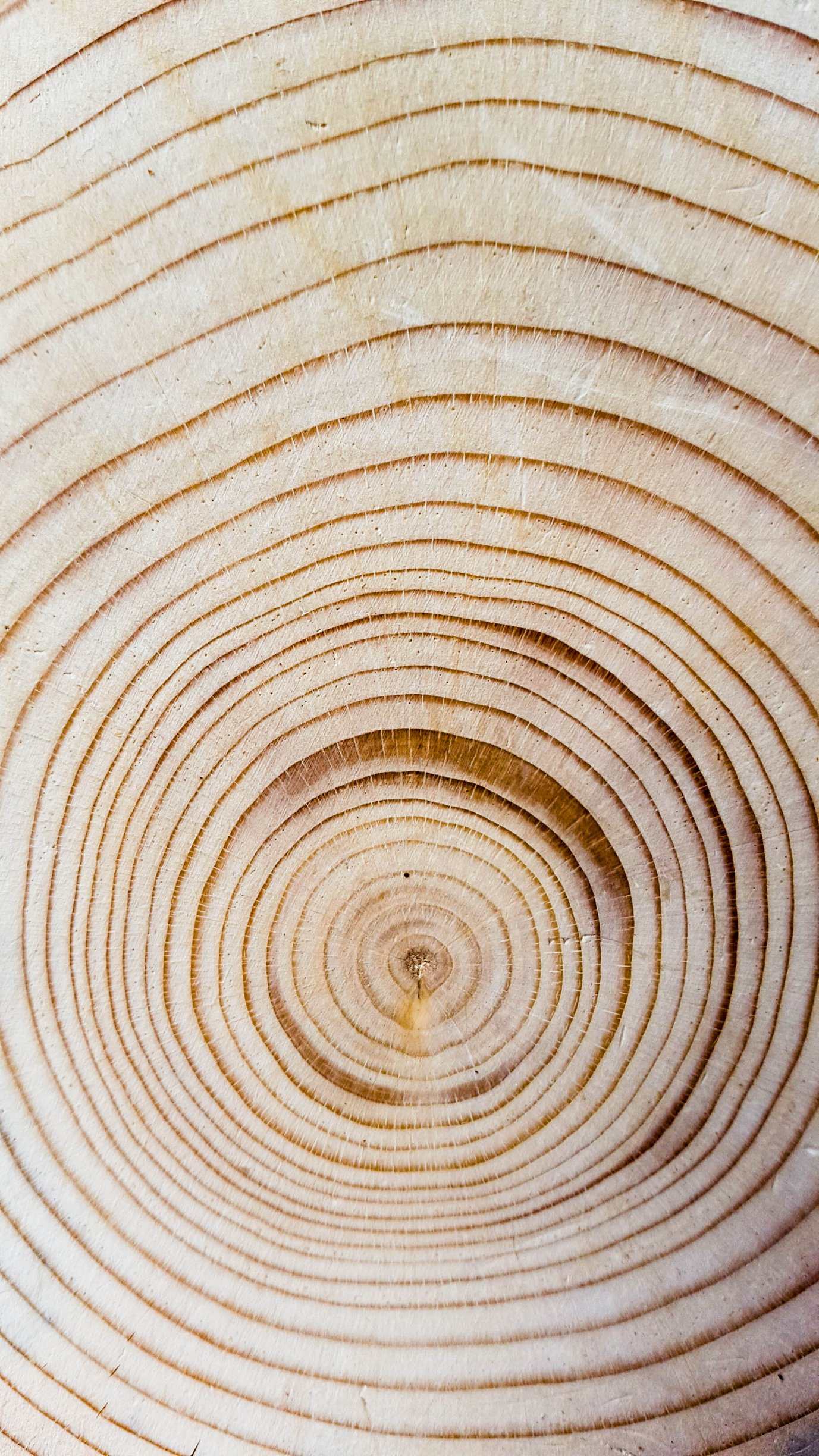 vector cross section of tree rings wood