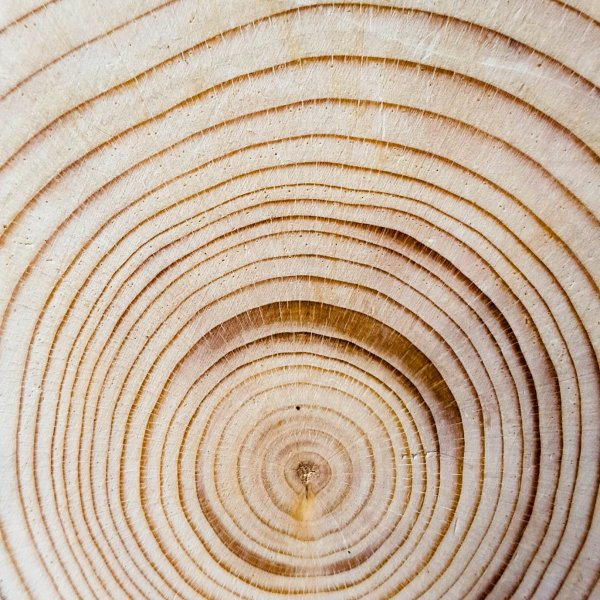 Concentric tree rings photograph