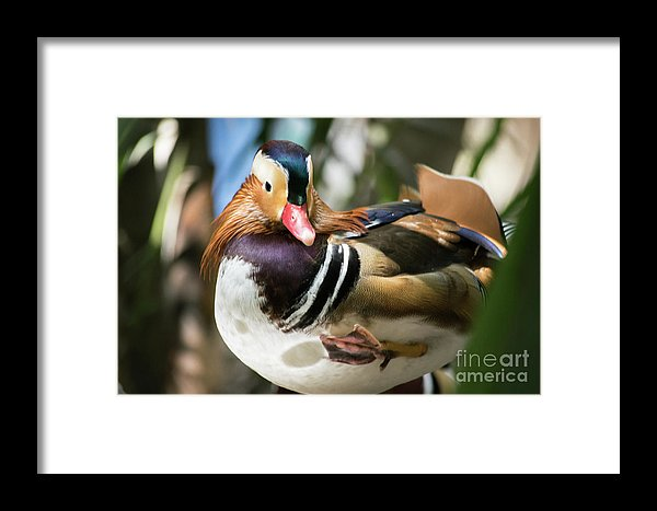 Mandarin duck raising one foot print