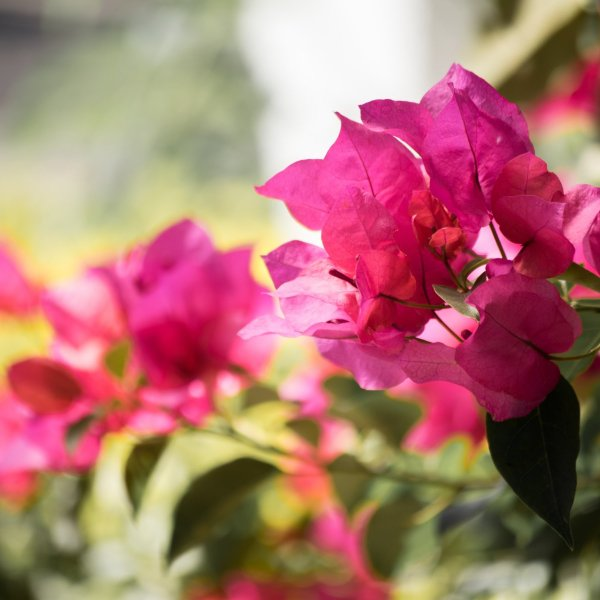 Purple bougainvilleas in Guatemala