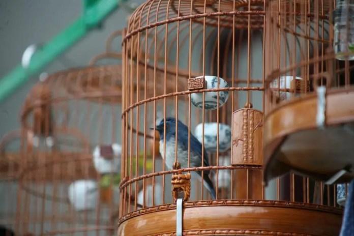 aves chinas