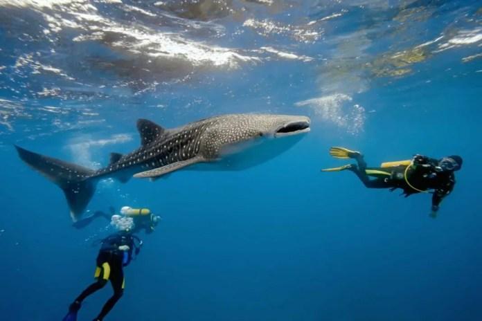 buceo con tiburon ballena