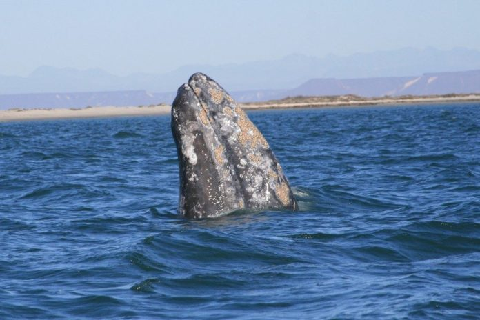 costo de avistamiento de ballenas en los cabos