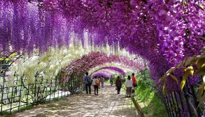Túnel de glicina en los jardines de Kawachi Fuji, Japón