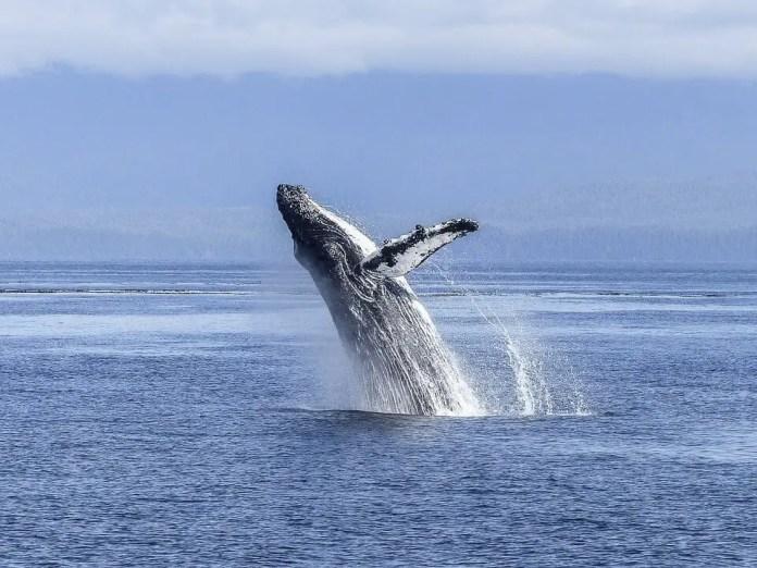 Qué hacer en Nuquí Chocó: Avistamiento de Ballenas