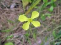 Yellow-Eyed Grass?