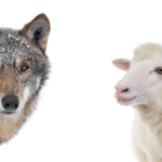 Un chrétien est un agneau vivant au milieu des loups. Es-tu agneau ou loup?