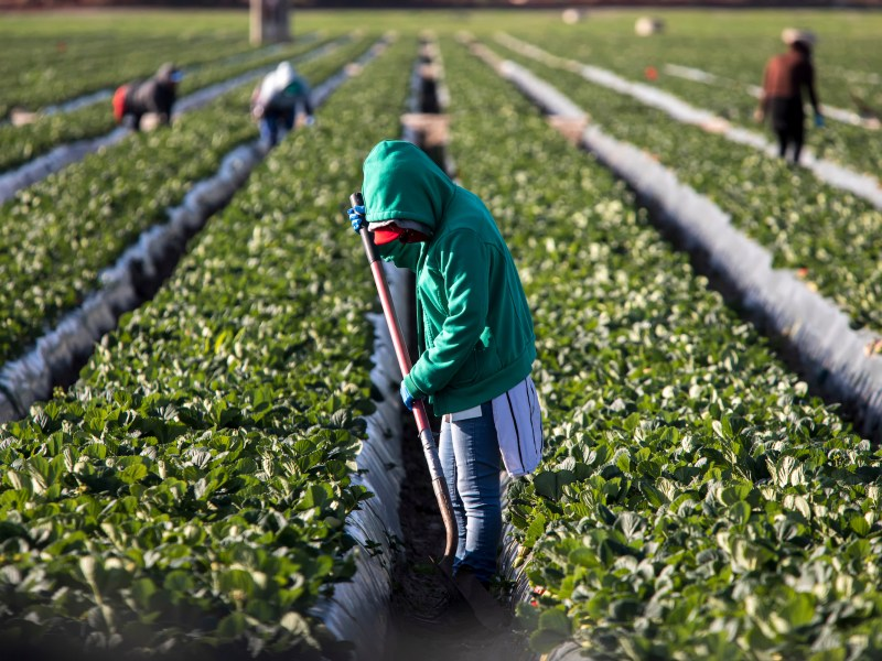 Blistering Temperatures Scorch Crops, Threaten Farmers and Workers