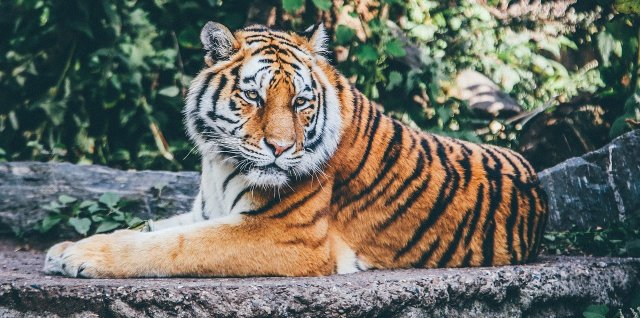 large tiger laying on rock ledge