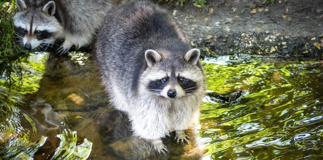 Two raccoons at stream with leaves reflected in water and soil in the background