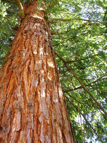 PaganPages org » cedar wood