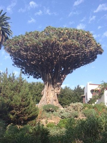 dragontree1