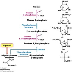 Glycolysis And Krebs Cycle Diagram Pioneer Deh P6800mp Wiring Pathway Beta Oxidation Elsavadorla
