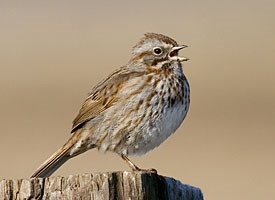 Get off my lawn Aggressive signaling in song sparrows