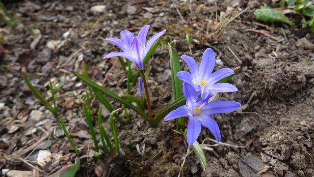 Frhlingsblher Blausternchen Winterling und Primel