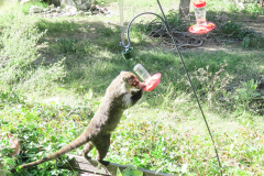 Coati drinking from a hummingbird  feeder.
