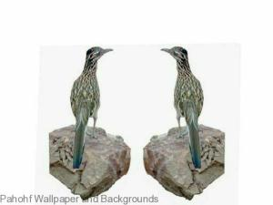 Greater Roadrunner Birds