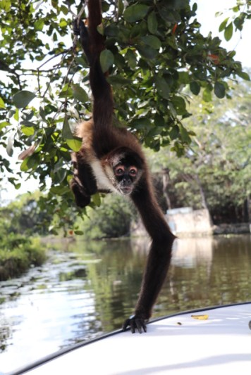 The New River Cove Spider Monkey coming in for a snack