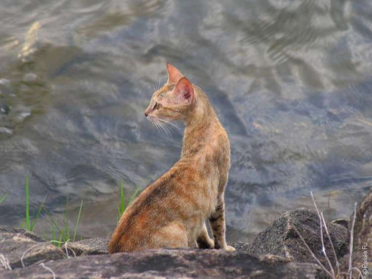Полоннарува кошка