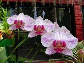 Три орхидеи в Перадении