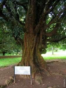 Дерево Николая II