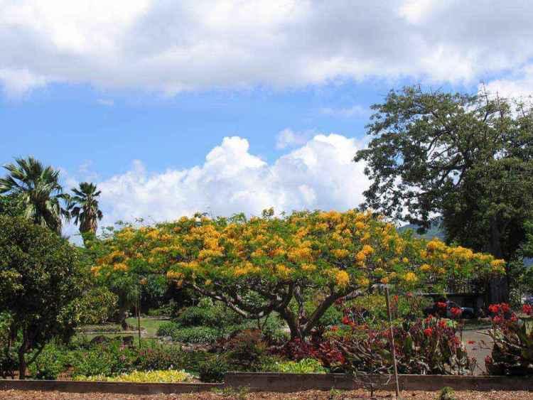 дерево на гавайях, оаху, гонолулу