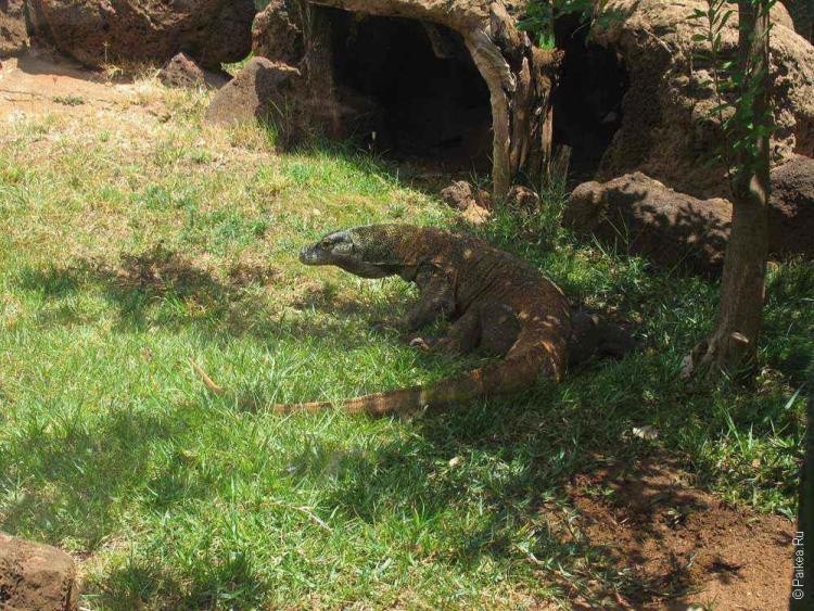 зоопарк гонолулу (honolulu zoo), комодский дракон фото