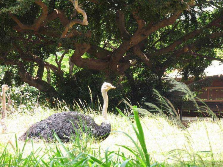 зоопарк гонолулу (honolulu zoo), страус под деревом