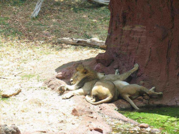 зоопарк гонолулу (honolulu zoo), львы отдыхают в тени
