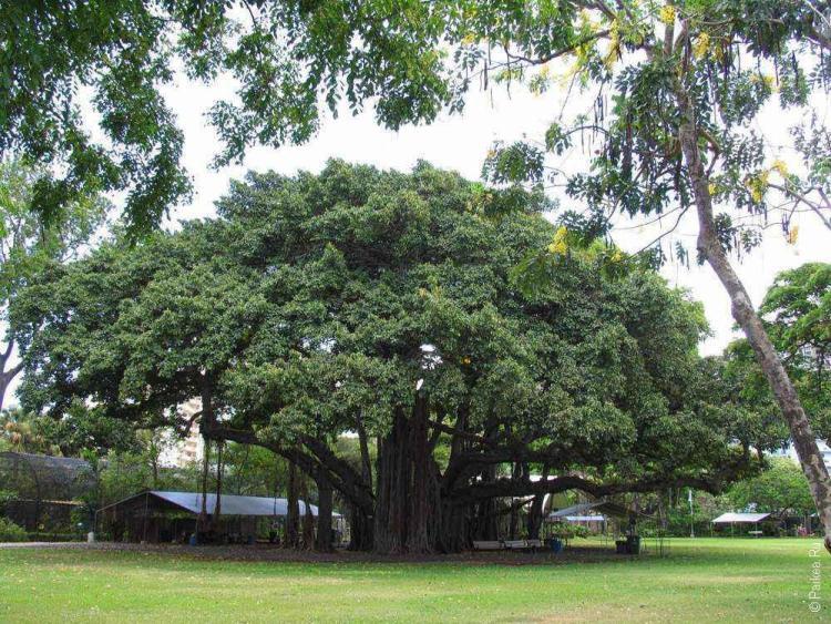 зоопарк гонолулу (honolulu zoo), дерево с широкой кроной