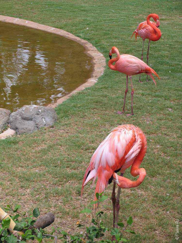 зоопарк гонолулу (honolulu zoo), фламинго на гавайях