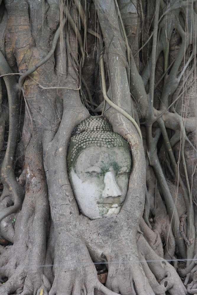 голова будды в корных дерева