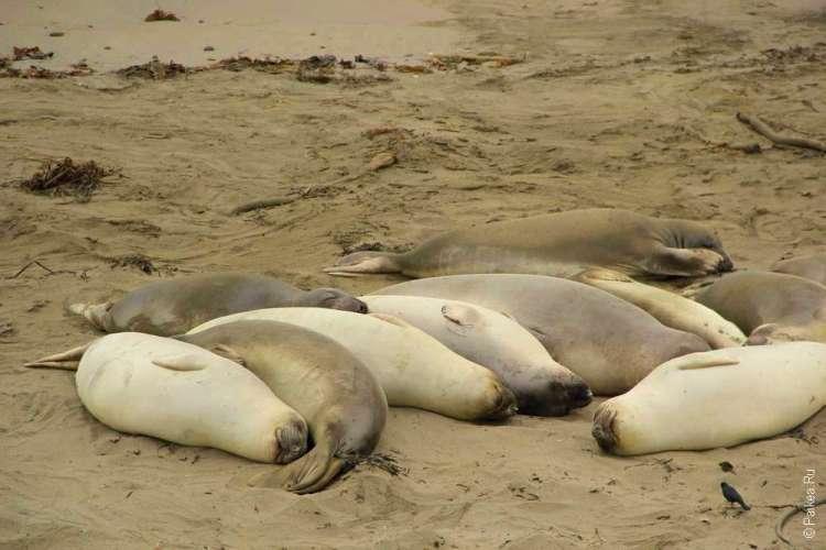Спящие морские котики на пляже Сан-Симеон