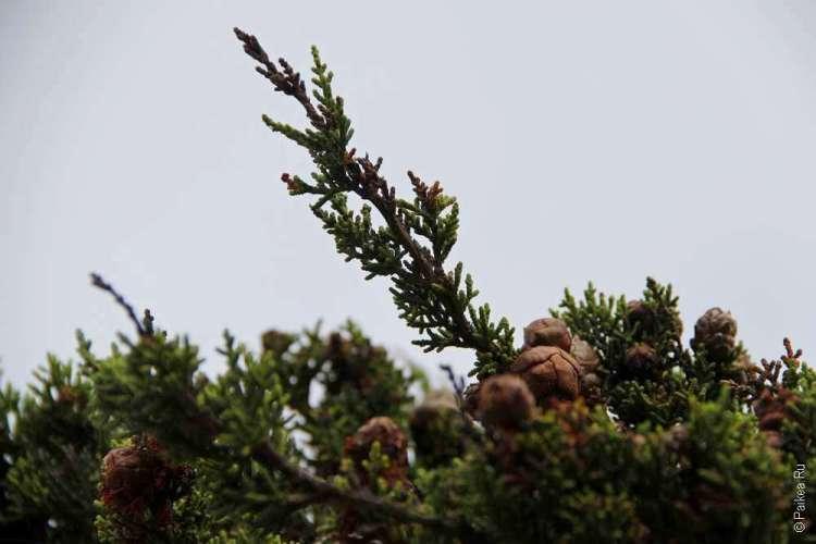 Шишки на ветке дерева