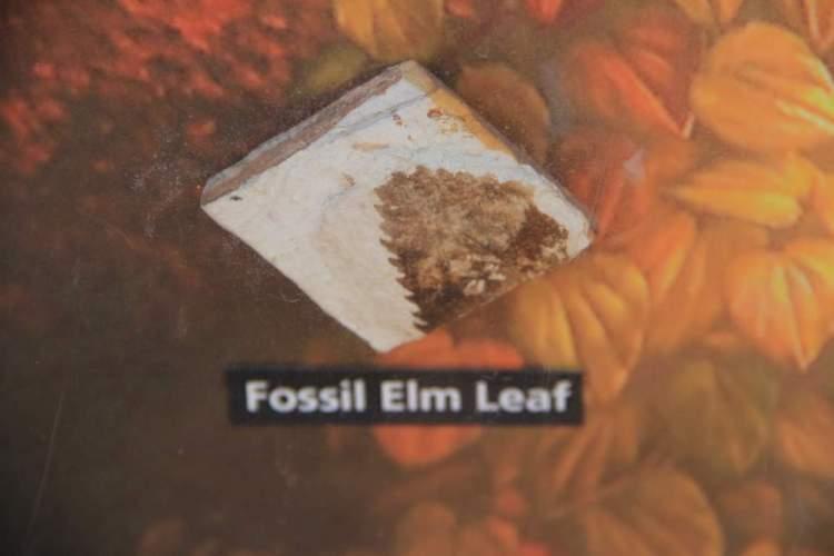 Пример окаменелости листочка вяза в Пейнтед хиллз