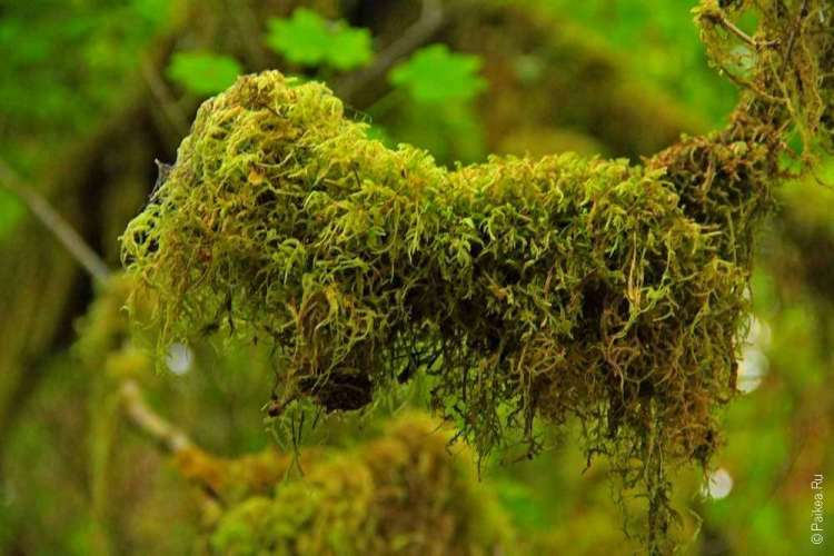 дождевой лес в национальном парке олимпик - Мох свисает с веток