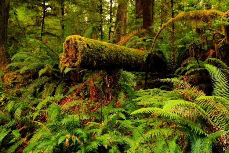 дождевой лес в национальном парке олимпик 14