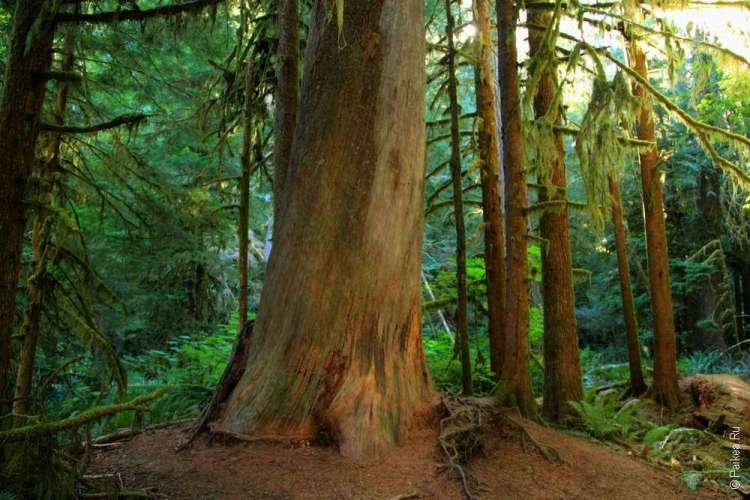 Озеро Полумесяца - Толстое дерево в лесу
