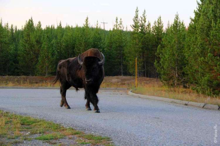 бизон бродит в парке Йеллоустоун